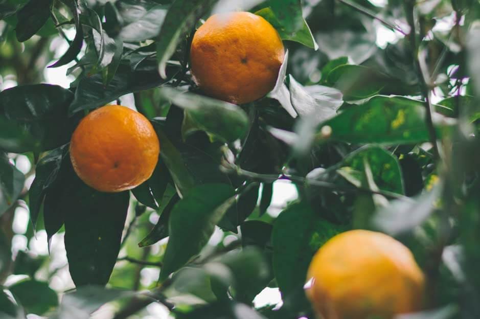 the orange trees garden rome